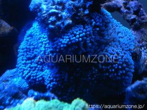 ハタゴイソギンチャクブルー固体(宮古島産):2011年2月22日に自宅水槽にて撮影