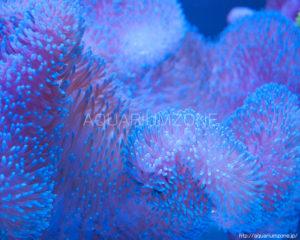 ハタゴイソギンチャク先端スカイブルー軸パープル固体(インドネシア産):2015年12月23日撮影