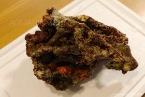 オレンジの海綿と海藻が付いた枝状ライブロック